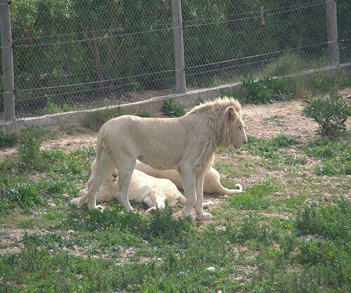 su tu cuoi, su tu cuoi thu vi,sư tử cười thú vị,sư tử cười sảng khoái,sư tử cười quá đã,xem sư tử cười